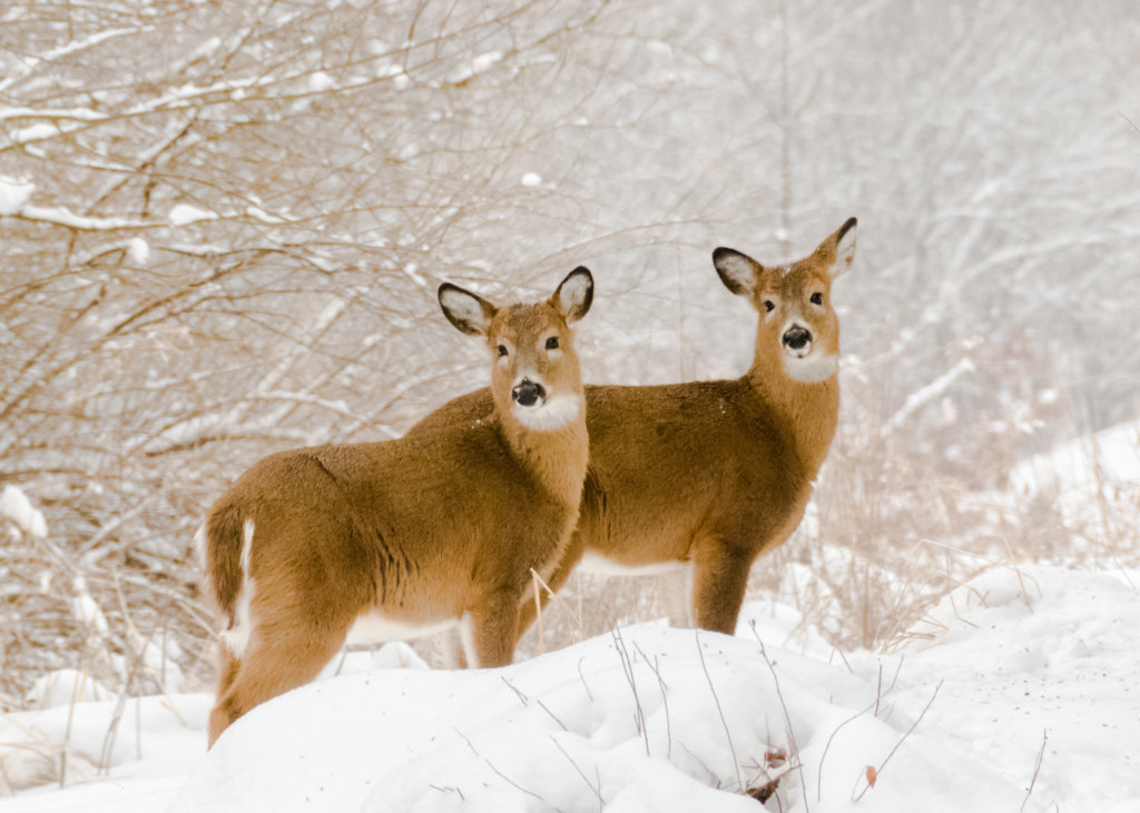 Deer in Snow, Pheasant Branch Conservancy