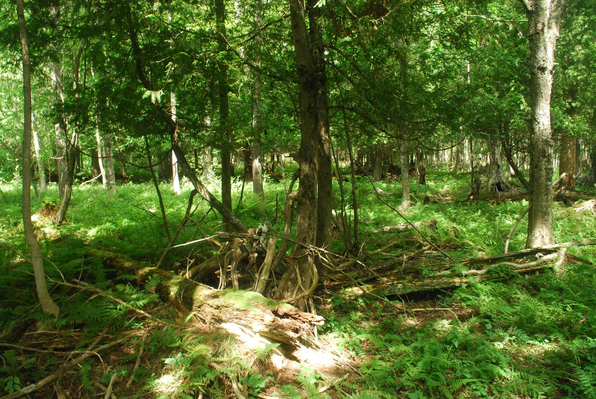 A forest in the Coffey Swamp State Natural Area