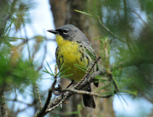 Kirkland's warbler in Wisconsin. Habitat for this and other species has been conserved by the Knowles-Nelson Stewardship Program.