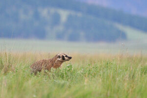 A badger in a field. Gov. Ever's Badger Bounceback budget includes renewal of the Knowles-Nelson Stewardship Program.