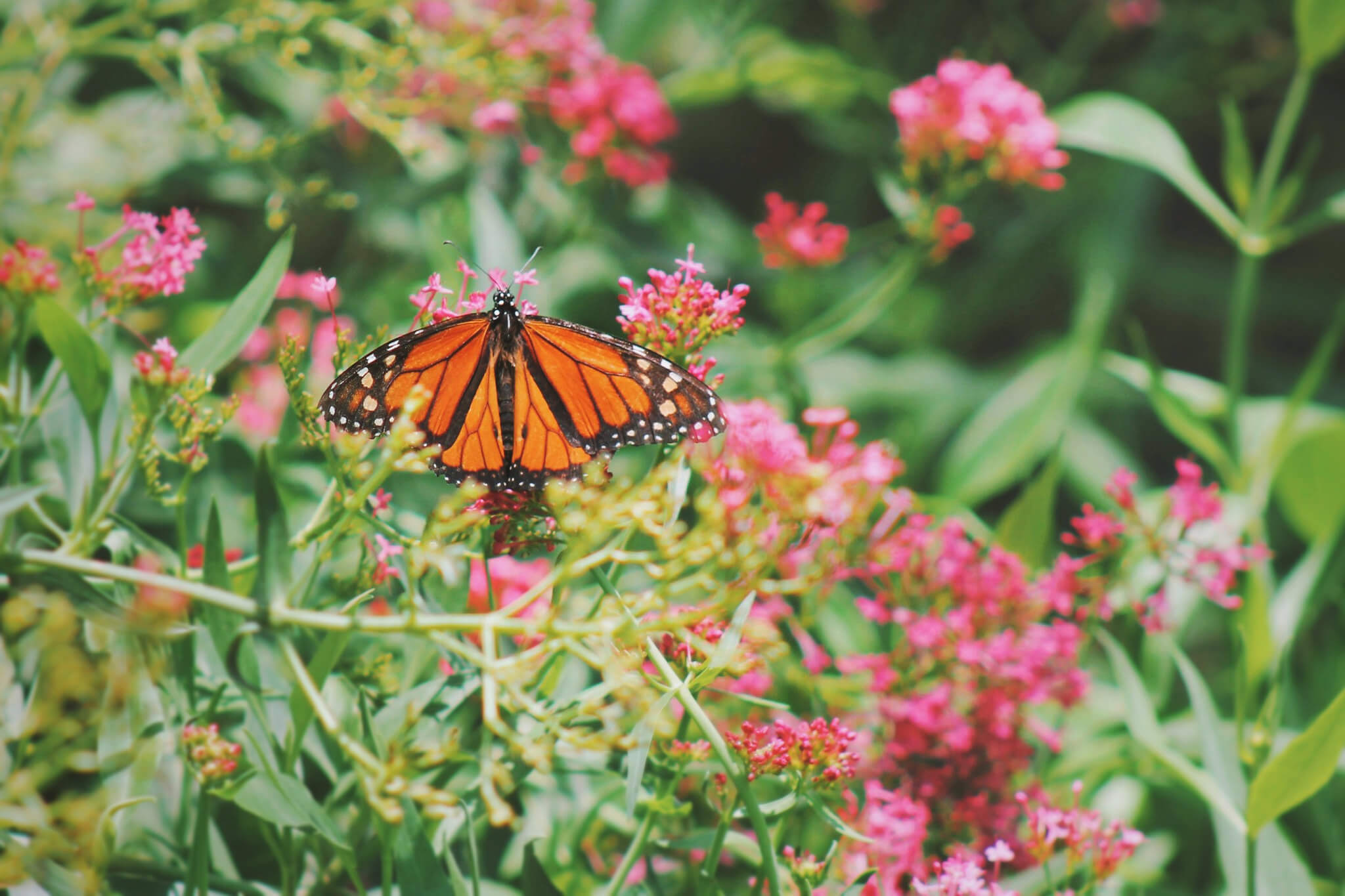 A monarch butterfly, one of many species whose habitat has been conserved thanks to the Knowles-Nelson Stewardship Program.