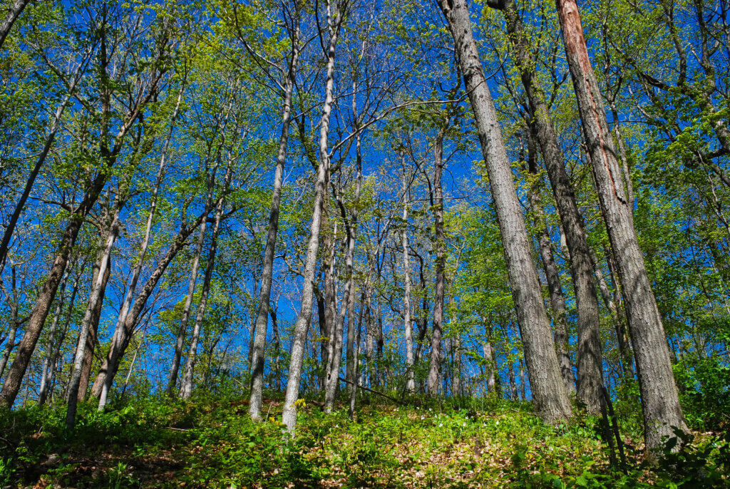 A county forest in Wisconsin, where many such forests have benefitted from the Knowles-Nelson Stewardship Program.