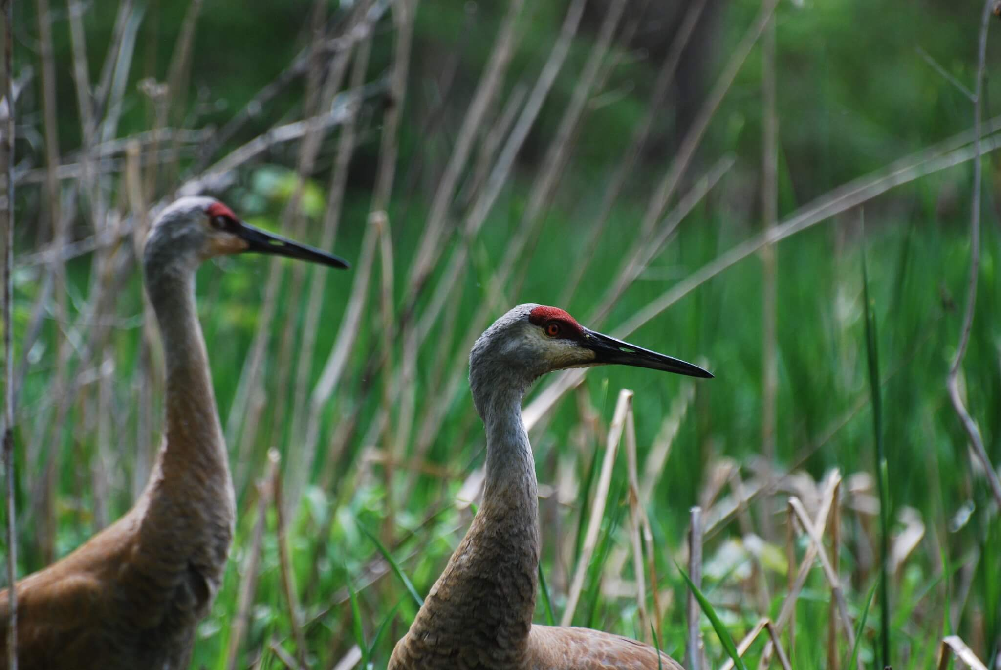 Sandhill cranes, one of many species who will need to adapt to a changing climate. Gov. Evers has proposed fighting climate change in Wisconsin by, among other things, renewing Knowles-Nelson.