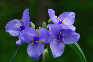 Spiderwort in bloom. Natural resources like these thrive on lands protected by the Knowles-Nelson Stewardship Program.