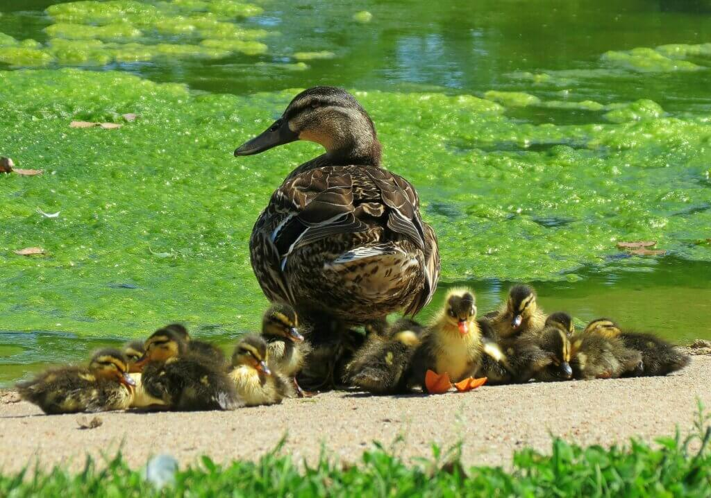 Mother duck and ducklings at the edge of a pond. The price increase of the Duck Stamp will help conserve and restore habitat, as would reauthorization of the Knowles-Nelson Stewardship Program.